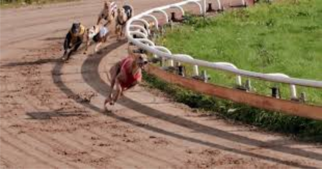 %gubitsCorrida de Galgos Corridas de Galgos Investimento Negócios e Carreira